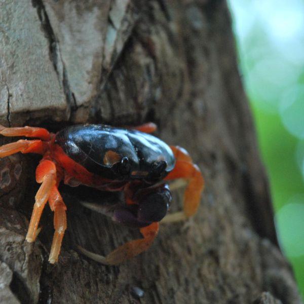 Costa-Rica Crabe