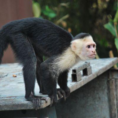 Costa-Rica Mono