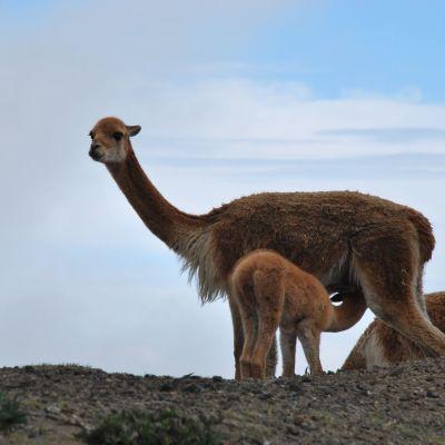 Chimborazo baby vicunas