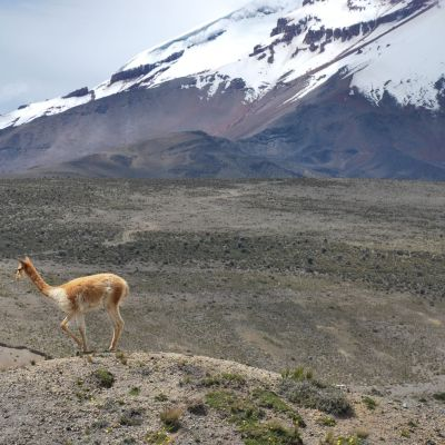 Chimborazo vicunas