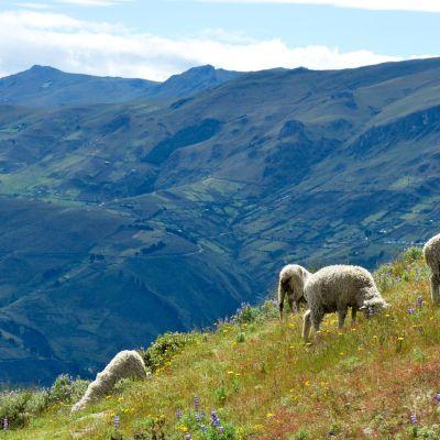 Quilotoa sheep