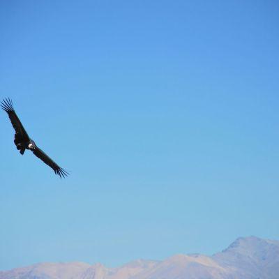 Condor_Andes