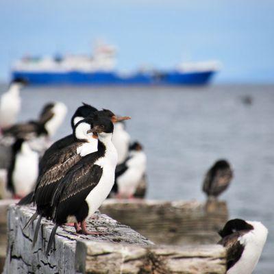 Punta Arenas_Cormorans_Zoom
