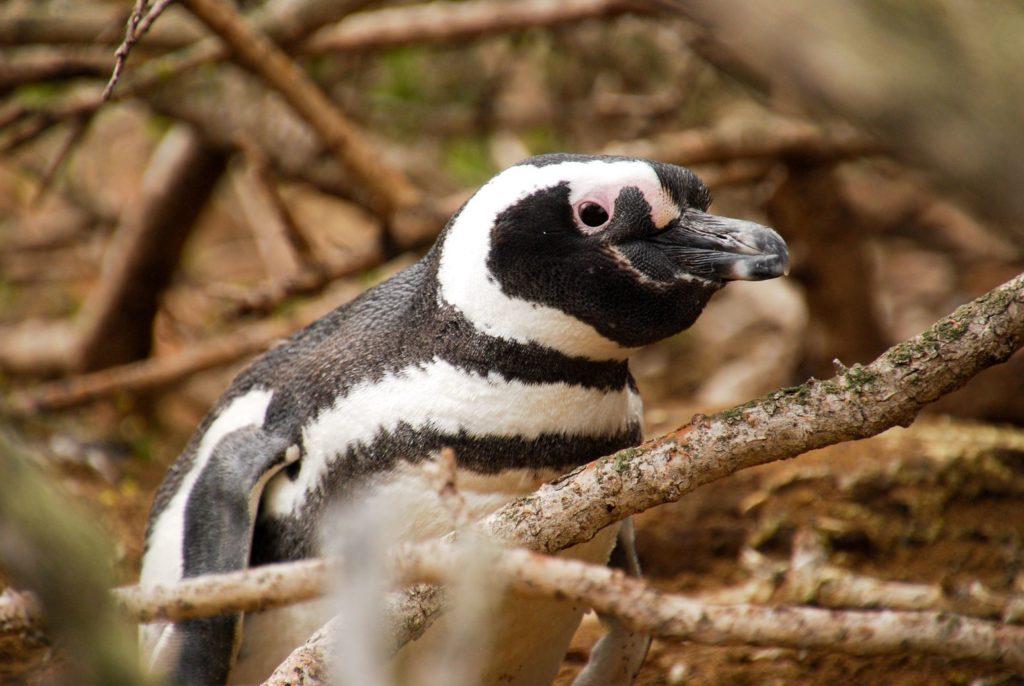 Chubut_Pinguino