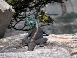 Cape Agama, Agama atra, Devil's Peak