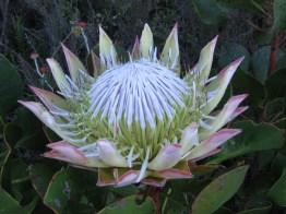 King Protea (Protea cynaroides)