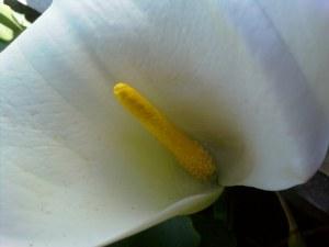 Arum Lily, Zantedeschia aethiopica
