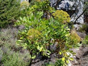 Blister Bush flower heads