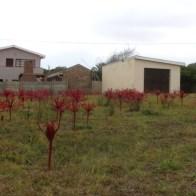 Chandelier lilies in a suburban garden in Stilbaai