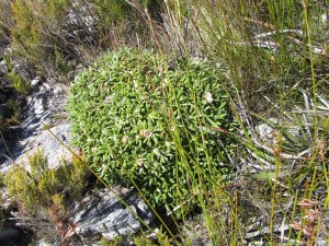 Oldenburgia paradoxa, summit of Sleeping Beauty, Riversdale, Western Cape