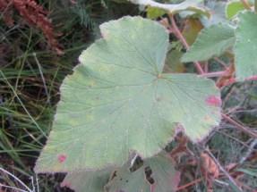 Pelargonium cordifolium, Outeniqua Hiking Trail
