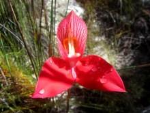Red disa (Disa uniflora), Groot Winterhoek