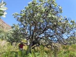 Waboom, Protea nitida, Uilsgatkloof, Cederberg