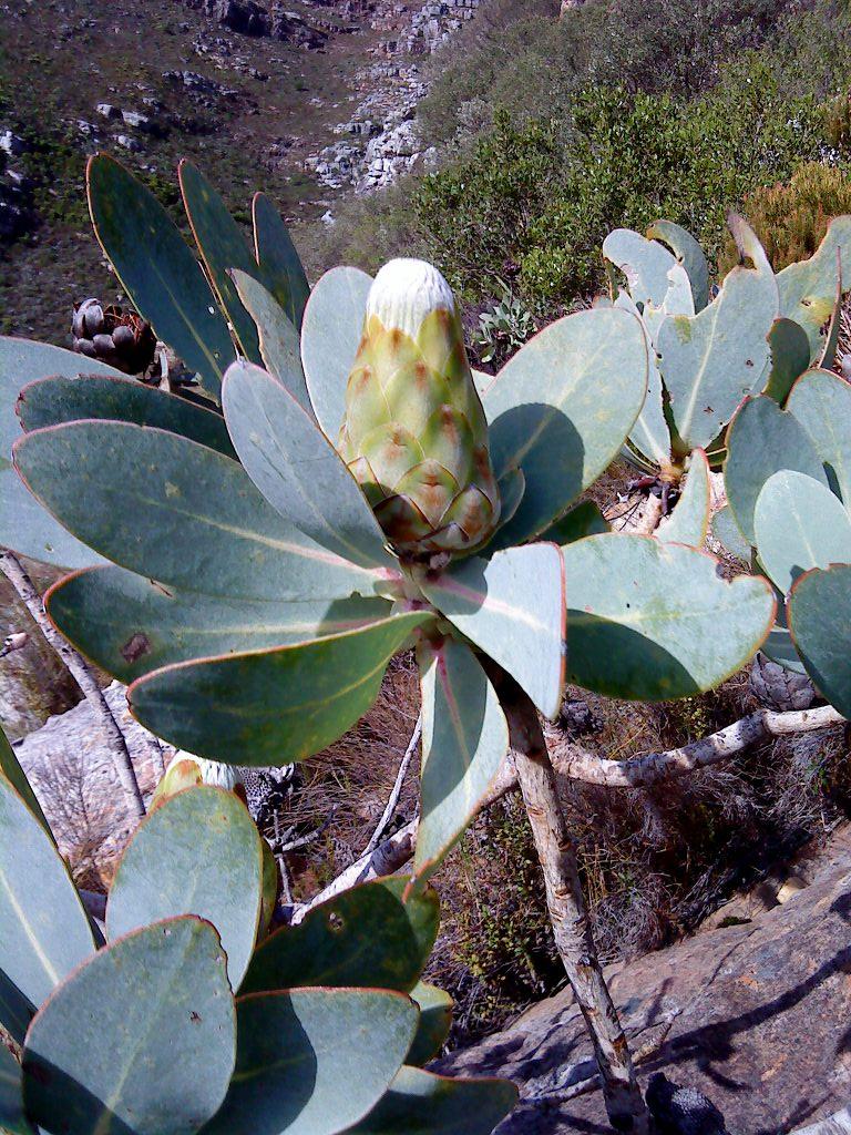 Protea nitida flower head, Chapman's Peak