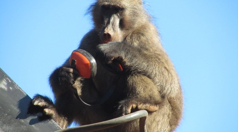 Chacma baboon with headphones, Tokai Arboretum
