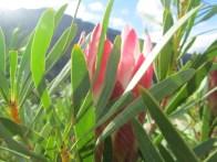 Suikerbossies, Protea repens