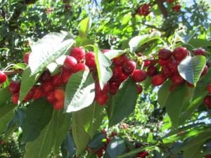 Klondyke Cherries