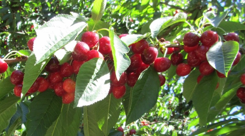 Klondyke Cherries