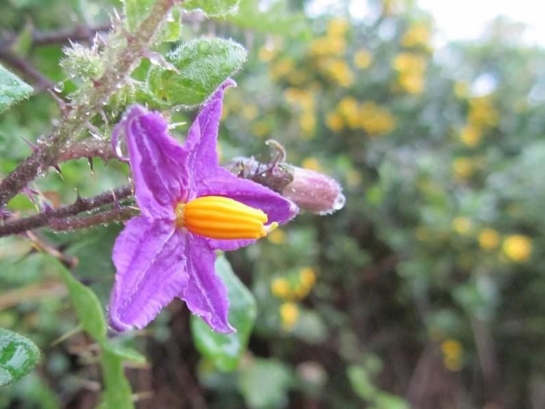 Bitterappel, Solanum linnaeanum, Storms River Trail