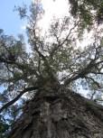 The Dalene Matthee Big Tree, Outeniqua Yellowwood