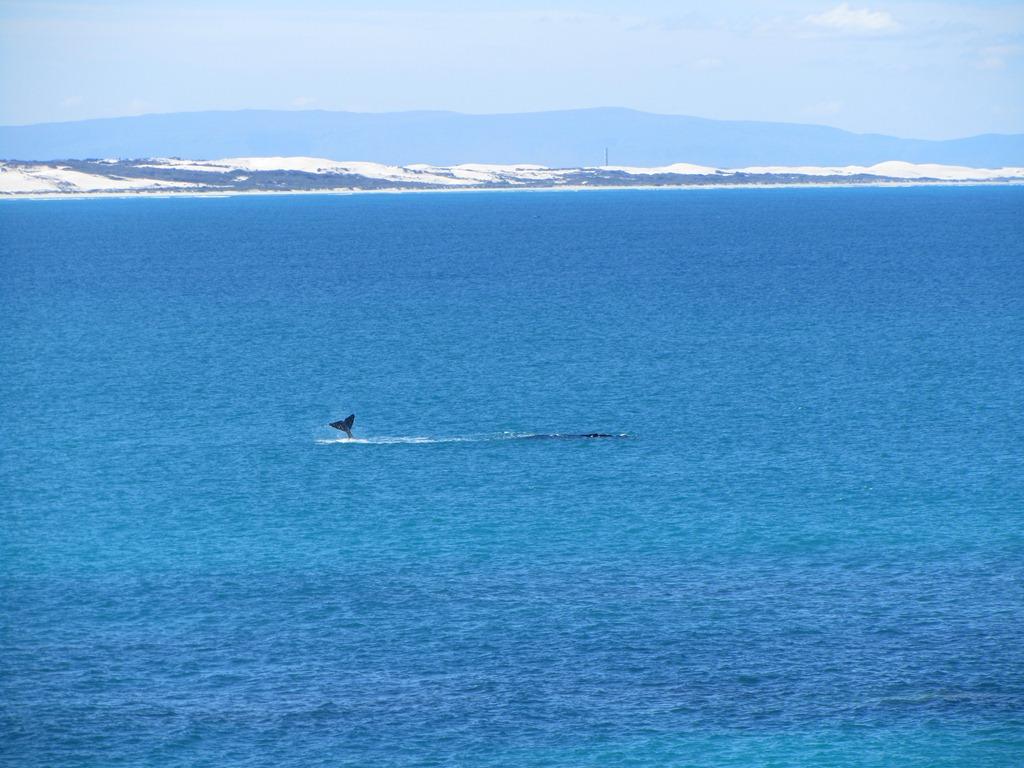 Southern right whales (Eubalaena australis), Arniston