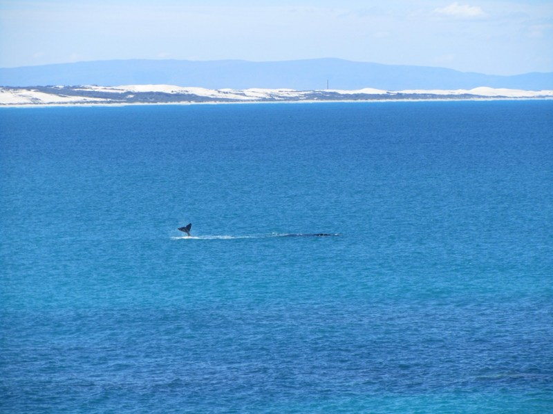 Southern right whales (Eubalaena australis), Arniston