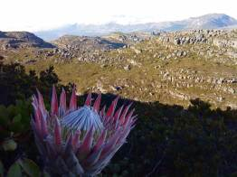 protea_backtable