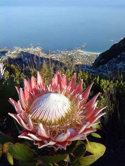 King protea, Protea cynaroides above Camps Bay, Table Mountain