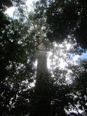 Outeniqua yellowwood, Podocarpus falcatus