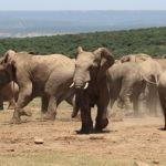 Addo Elephant National Park Herd Of Elephants