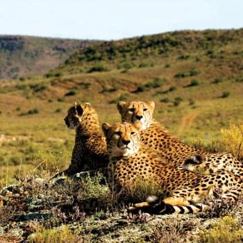 Dwyka Tented Lodge Cheetahs