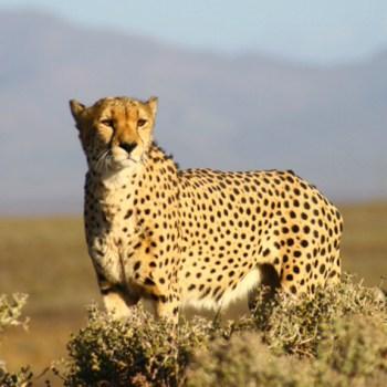 Inverdoorn Game Reserve  Cheetah