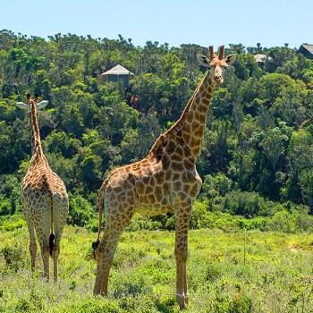 Settlers Drift Giraffes