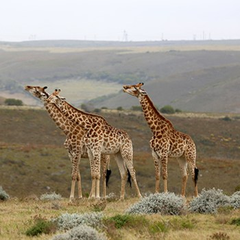 Tented Eco Camp Giraffe