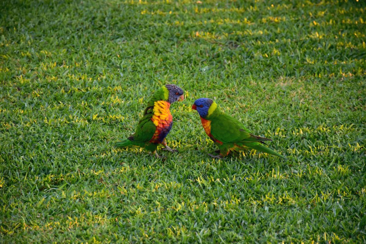 Port Stephens parakeets // Australia