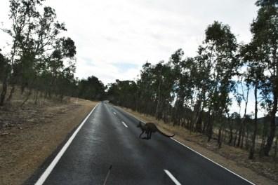 Kangaroo crossing Victoria Australia