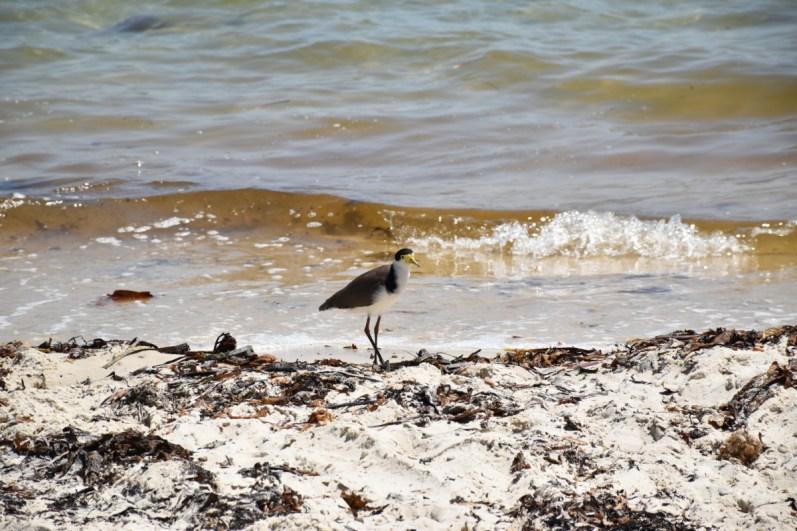 Water Bird New South Wales Australia