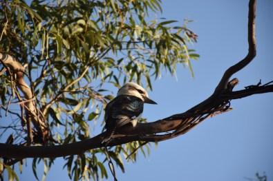 Kookaburra Victoria Australia
