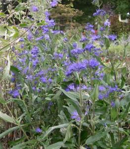 Blue mist shrub