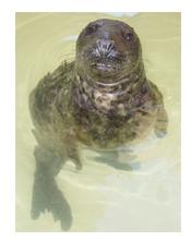 Grey-Seal-Standing