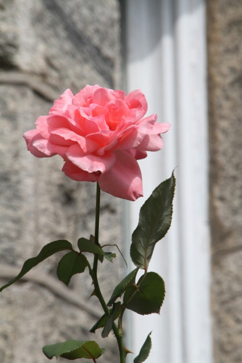 Can you find this rose in Cape May?