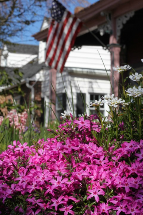 Creeping phlox on Washington Street