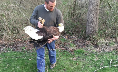 All-American Recovery: The Bald Eagle