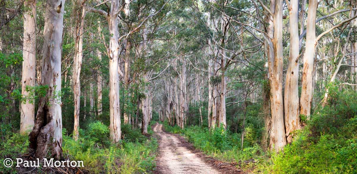 Boranup Forest and Karri trees