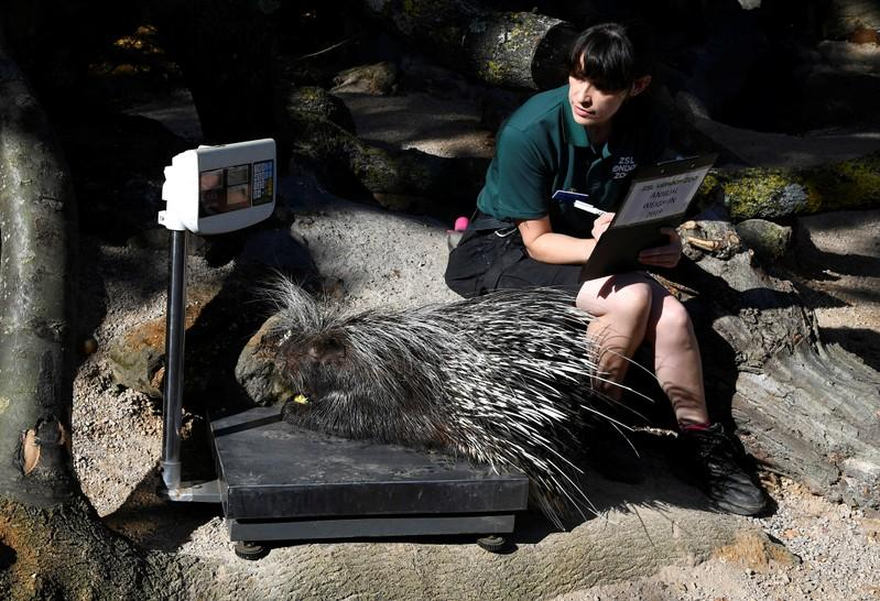 London Zoo launches its trickiest annual task – the weigh-in