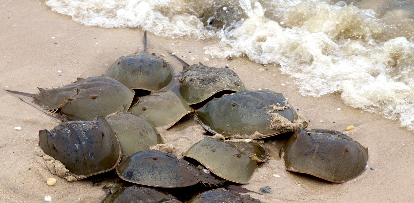 we mapped half a billion years of horseshoe crabs to save them from blood harvests