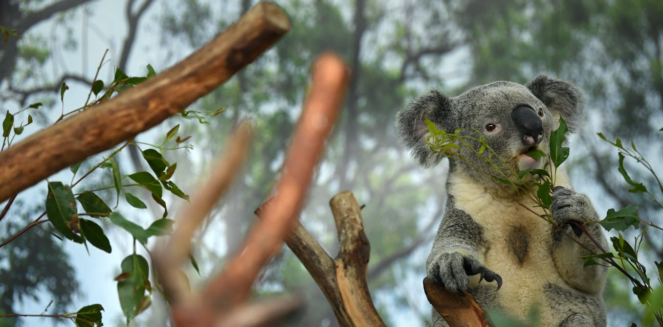 A new 3D koala genome will aid efforts to defend the threatened species
