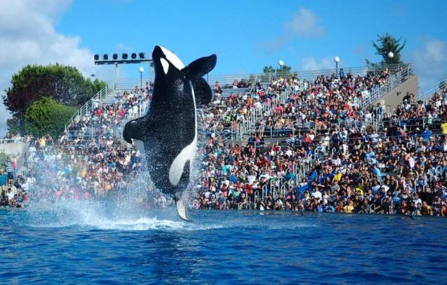 """2009-Seaworld-Shamu"" by Yathin S Krishnappa - Own work. Licensed under CC BY-SA 3.0 via Wikimedia Commons."