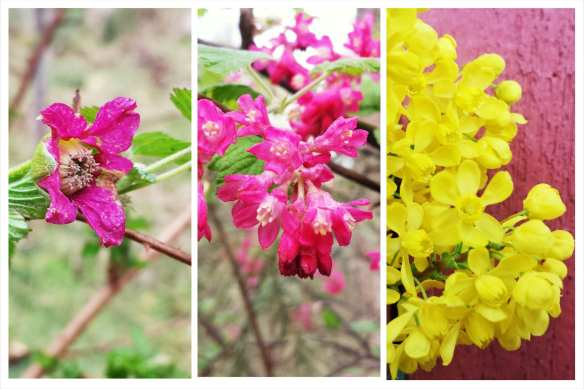 Early flowering natives. Left to Right: Salmonberry, Red-flowering Currant, Cascade Oregon Grape. Credit: Brendan McGarry