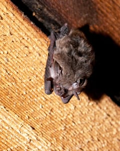 This little brown miotis calls a Capitol Hill attic home. It might also be older than you. (Image: Brendan McGarry)